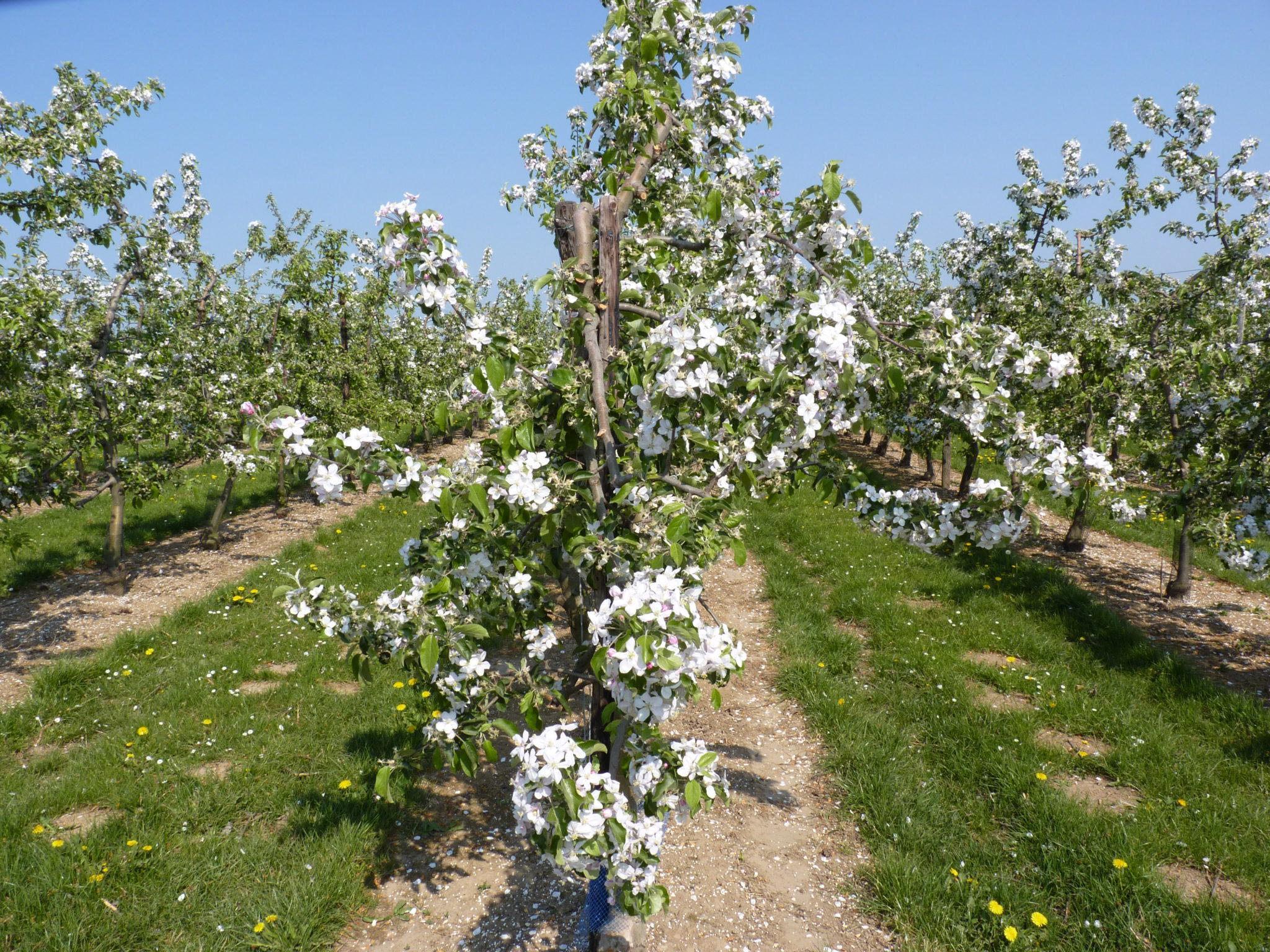 Fruitbomen en landschappen in het Hageland.